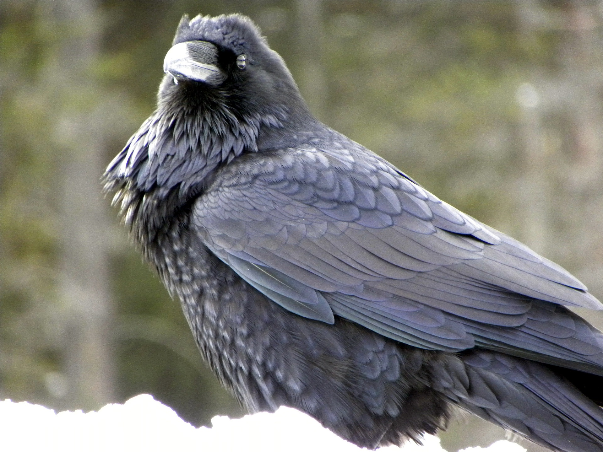 Common Raven showing its hackles and large beak