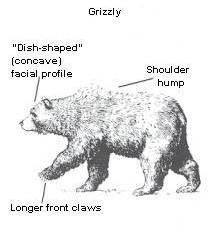 Grizzly Bear Traits